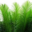 Needle-like leaves of cycas — Stock Photo