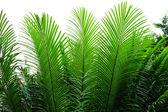 Needle-like leaves of cycas — Stock Photo