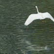 White egret extended its wings in flight — Stock Photo
