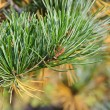 Shining green pine needles in a garden — Stock fotografie