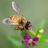 蜂と花 — ストック写真