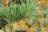 Shining green pine needles in a garden — Stock Photo