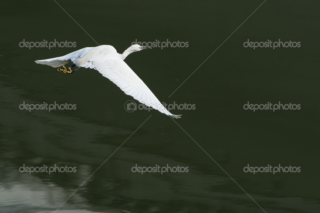 White egret extended its wings in flight  Stock Photo #7653211