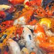 Beautiful golden koi fish in fish ponds — Stock Photo #7776361