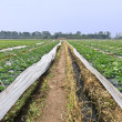 Stock Photo: Rows of young strawberry field