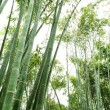 Slant  bamboo groves — Stock Photo