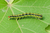 A cute caterpillar on leaf — Stock Photo