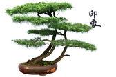 Cedar bonsai — Stock Photo