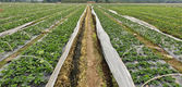 Rows of young strawberry field — Stock Photo