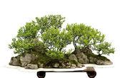 China bonsai — Stock fotografie