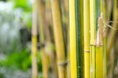 Bamboo groves — Stock Photo