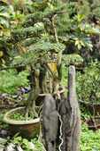 China bonsai in a garden at summer — Stock Photo