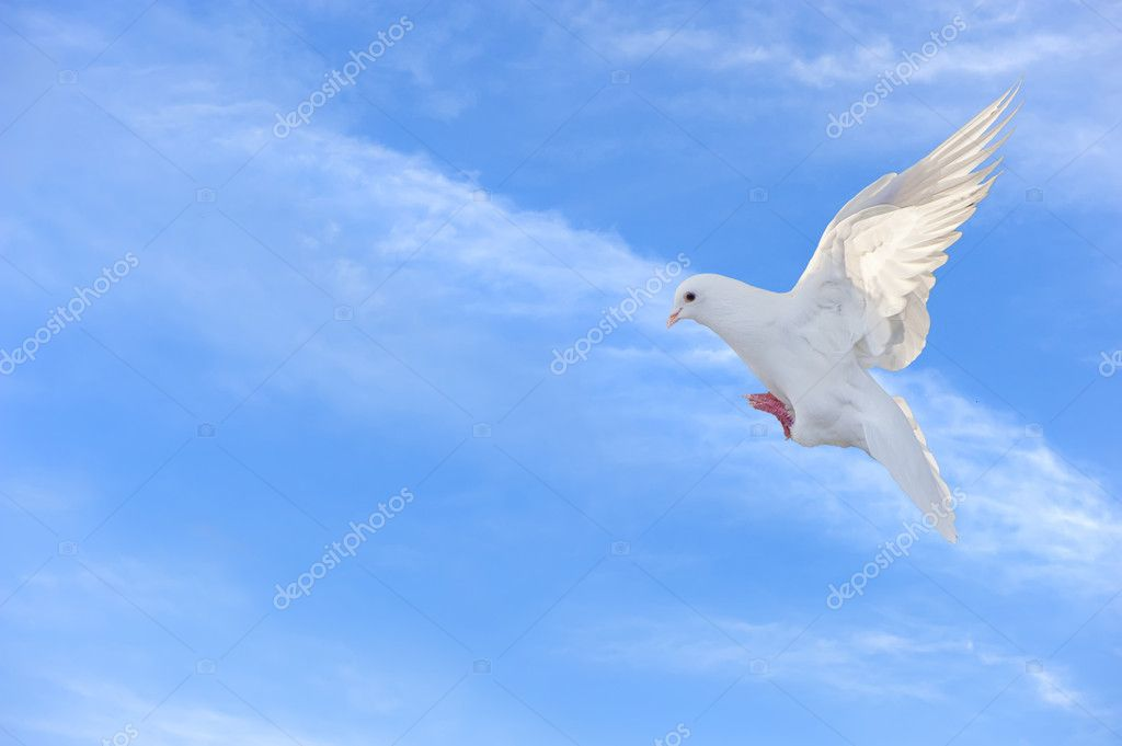 White dove in free flight  Foto de Stock   #7777209