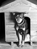 Hunde sitting am eingang seiner hundehütte — Stockfoto