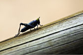 Insect: Grasshopper — Stock Photo