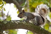 écureuil mangeant écrou — Photo