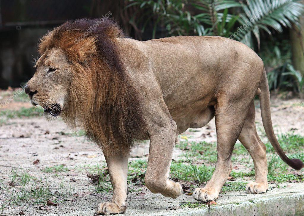 行走在马来西亚国家动物园沟旁边的老雄狮