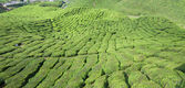 Row of tea plantation in highland. — Stock Photo
