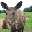 Elch Moose — Stock Photo