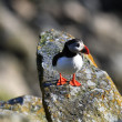 Papageientaucher Puffin - Stock Photo