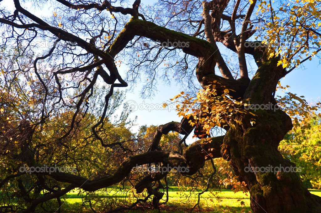 Branchy old tree at fall botanic garden Oslo Norvay — Stock Photo #7526130