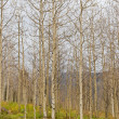 Foto Stock: Autumn aspen forest