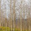 Stockfoto: Autumn aspen forest