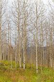 Autumn aspen forest — Stock Photo