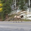 Rocky Mountain Elk crossing the road. — Stockfoto