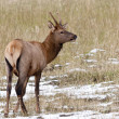 Alerted young  Rocky Mountain Elk. - Stock Photo