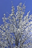 Tree covered with ice. — Stock Photo