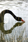 Black Swan and reflection — Stock Photo