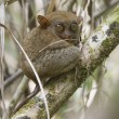 Tarsier in its natural environnement — Stock Photo