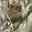 Tarsier in its natural environnement - Stock Photo