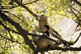 Bebeğini kucağında anne maymun — Stok fotoğraf