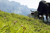 Vaca pastando nas montanhas — Foto Stock