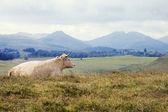 Aubrac cow before the volcanoes of Auvergne — Stock Photo
