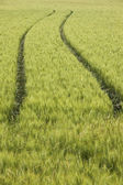 Tractor tracks in wheat field — Stock Photo