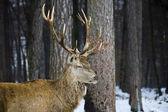 Mężczyzna jelenia z poroża w lesie — Zdjęcie stockowe