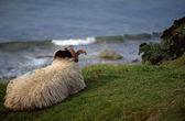Deniz kenarında shetland koyun — Stok fotoğraf