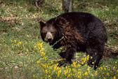 Orso marrone e fiori gialli — Foto Stock