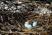 Nest with three eggs of gray heron — Stock Photo
