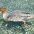Goosander swimming — Stockfoto