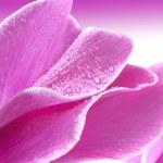 Cyclamen flower — Stock Photo
