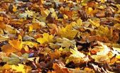 Maple leaves in the fall — Stock Photo