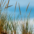 beach grass — Stock Photo