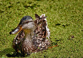 Duck in Pond — Foto de Stock