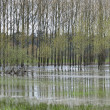 Flooded poplars, France. — Stock Photo