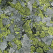 Royalty-Free Stock Photo: Maplike patches of green and gray lichen
