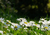 A field of wild daisies in low perspective — Stock Photo